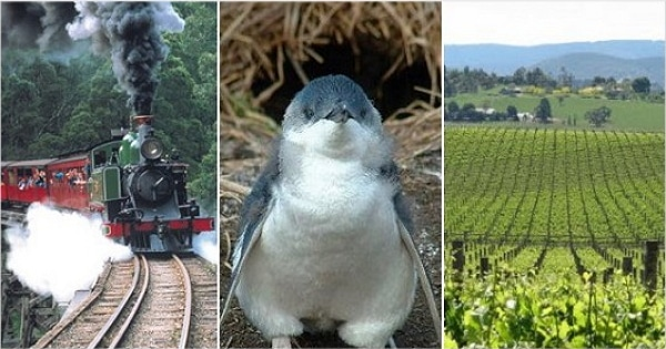 墨爾本旅遊行程:代號YDP 亞拉酒莊+丹頓農山蒸汽火車+菲利浦島企鵝