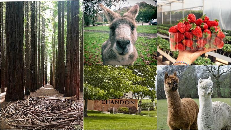 【墨爾本旅遊行程】獨家行程-季節果園+落羽松秘境+亞拉河谷+野生大袋鼠