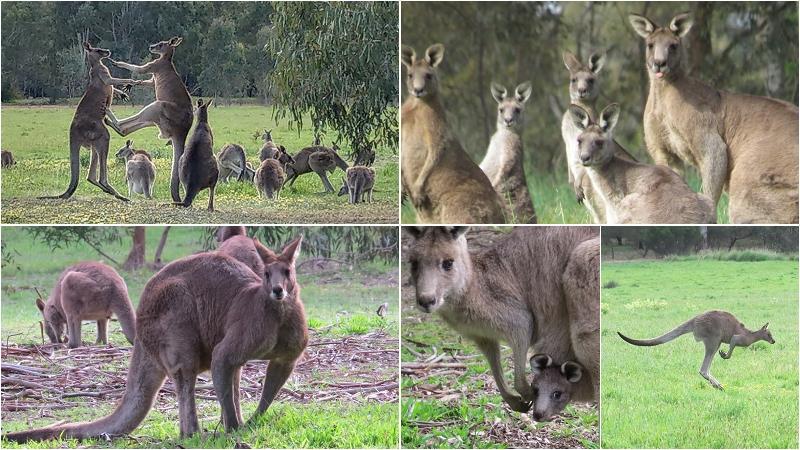 澳洲野生袋鼠